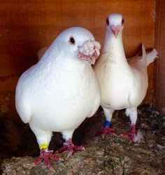Animals And Pets, Cute Animals, Dove Pigeon, Racing Pigeons, Pretty Birds, Lofts, Teaching English, Pakistan, Cactus