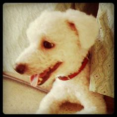Summer cut to beat the heat! #haircut #grooming #bichon #dogs