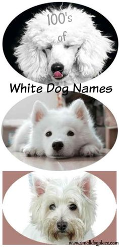 White dog names make perfect sense when you are trying to find the perfect name for your white dog. Browse this extensive list of names Dogs Names List, Boy Dog Names, Dog Breed Names, Puppy Names, Pet Names, English Retriever, English Golden Retrievers, White Golden Retriever Puppy, Golden Retriever Names