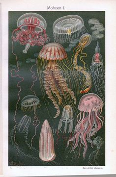 I really like all the different jellyfish that are shown in this illustration. The background is dark, but the jellyfish bring color to the illustration and give it motion and life. Ernst Haeckel, Botanical Illustration, Illustration Art, Illustrations, Antique Illustration, Jellyfish Art, Jellyfish Drawing, Jellyfish Tattoo, Antique Prints