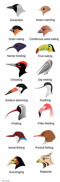 Feeding adaptations in beaks. When identifying a mystery bird, the shape of the beak will tell you a lot about it's lifestyle.