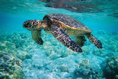 Swim with the Hawaiian green sea turtle