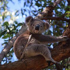 Look what #ABC #journalist Kim Honan has in her front yard in #PortMacquarie right now! #koala #wildlife #cute #Australia #wildlifeinthesuburbs