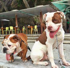 Eu e meu primo Johnnie Walker curtindo o dia!  #englishbulldog #bulldog #bullies #friends #zionpirata #zionrasta #pitbullsofinstagram #pitbulls #pitbulllove #pitbulladvocate #pitbulllife #pitbullpuppy #pitbullinstagram #pitbulllover #pitbullsofficial #pitbullfriends #pawsomepitbulls #pitbullllove #pitbullnation #dog #dogsofinstagram #dogs #doglover #doglovers #dogslife #proudpitbull #zeedog #modelando #desfile