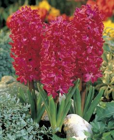 Hyacinth  'Amazon'  Can't miss this one in the garden