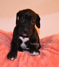 Black Male Puppy Black Great Dane Puppy, Black Great Danes, Dane Puppies, Dogs, Black Men, Labrador Retriever, Pitbulls, Animals, Labrador Retrievers