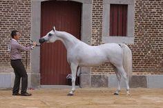Grey arabian horse                                                       …