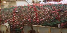 Raubzug durch die Weltmeere. Die globale Fischerei sorgt auf den Schiffen für ein Blutbad, zerstört das Ökosystem, fördert die Armut und basiert mitunter auf Sklavenarbeit. Das Geschäft mit dem Fisch. Seit Jahrzehnten plündert eine Armada von Fangflotten mit verheerenden Folgen die Weltmeere. Experten schätzen, dass 90 Prozent des Mittelmeers überfischt sind.