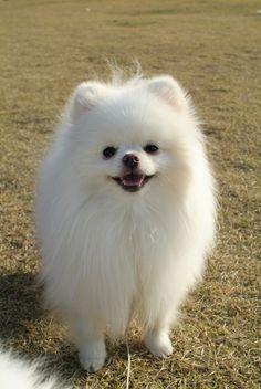 Pomeranian MOA