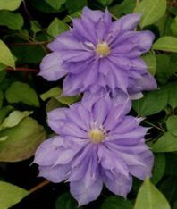 clematis Countess of Lovelace nice pair