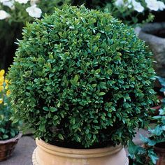"""Boxwood 'Green Velvet'  - hardy, stays green even in very cold winters, compact growth, deep green, zones 5 - 9, 12 - 24"""", full sun"""