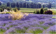 Lavender fields at Matanzas Creek Winery, Santa Rosa, CA