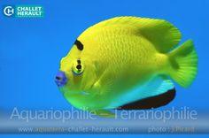 Apomelichthys trimaculatus