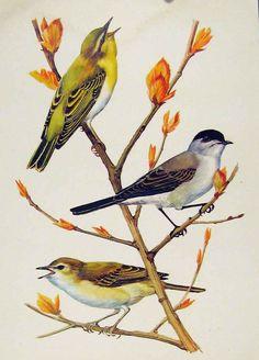 Color Birds Fine Art Wood Warbler Blackcap Willow Print