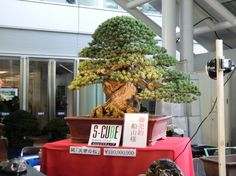 this Bonsai became the most talked about Bonsai in Takamatsu during the Asia-Pacific Bonsai and Suiseki Convention & Exhibition last November.  You see the price. It sold for ¥100,000,000! Yes, you read me correctly. One hundred million Yens!  (that's about €1,000,000 $1,300,000 or £840,000 as I type these lines)