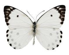 .Tout simplement noir et blanc ce papillon