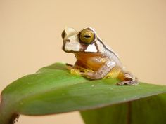 Mason Ryan @mjryan42frogs  Sep 15 #TreeFrogTuesday & #cuteoff a baby Gastrotheca cornutum from Panama. @mtbogan @FieldEcology @HerpMapper @NatGeoEmbedded image permalink