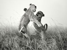 Sparring Lion Cubs Image, South Africa -- National Geographic Photo of the Day Photograph by Andy Skillen, National Geographic Your Shot