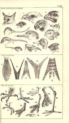 Beaks, heads, and tails of birds. Bird Drawings, Animal Drawings, Bird Facts, Scientific Drawing, Bird Template, Nature Journal, Animal Sketches, Drawing Lessons, Zoology