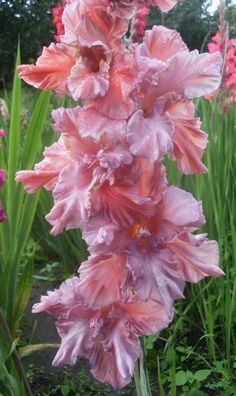 planting gladiolus bulbs in pots Gladiolus Bulbs, Gladiolus Flower, Orchid Cactus, Cactus Flower, Unusual Flowers, Beautiful Flowers, Lilium Martagon, Rainbow Garden, Garden Crafts