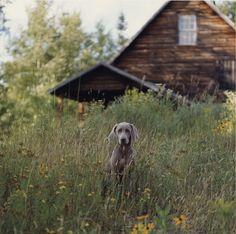 William Wegman, Farm Dog, 2004