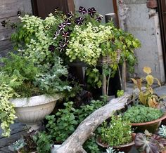 container garden, love the simple greenery with one pop of the dark purple color.