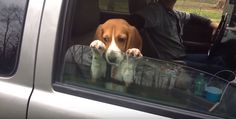 It's no secret that dogs love hangingtheir heads out of the car window. The sights! The smells! The air! The feeling of the wind flopping into theircute little faces that makes riding in a car exciting for them!Unfortunately for this Beagle, the fun seems to beover, but he's simply not giving up! This beagle puppy …