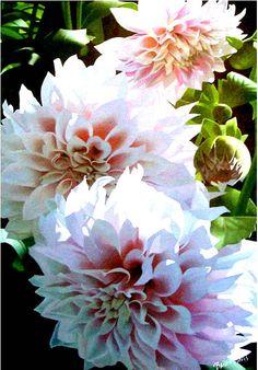 Three Pink Dahlias