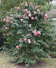 Debutante Camellia. Evergreen hedge to 15' tall, 8' wide. Privacy screen for hot tub corner?