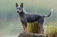 Australian Cattle Dog   Learn About Breed History of Australian Cattle Dogs