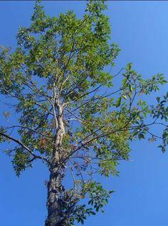 Tarumã Vitex montevidensis