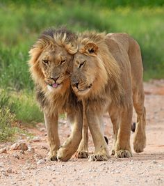 Africa    Brothers by Stephen Earle.  Photo taken in the Kgalagadi Transfrontier Park, South Africa