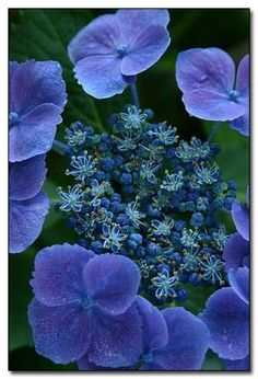 Hydrangea 'Fasan' has deep blue flowers in acidic soil, or deep reddish-pink when grown in alkaline soil.