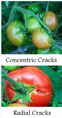 Why are my tomatoes cracking ?
