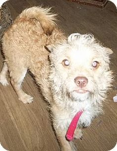 Memphis, TN - Poodle (Miniature)/Chihuahua Mix. Meet Myles a Dog for Adoption. Adult, male, 12#.