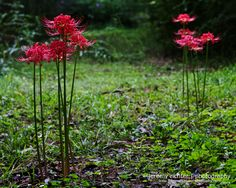 Red Spider Lilies at Black Creek in Fultondale, Alabama. http://blog.jeremyrichterphotography.com/2012/10/red-spider-lilies-at-black-creek.html