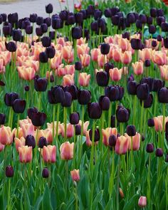 Image result for queen of night tulip