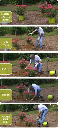 Planting Knock Out® Roses is super easy. Low maintenance introduction to growing roses.