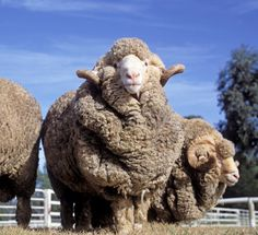Did you know, the average sheep produces enough wool in a lifetime to make 260 woolly jumpers!