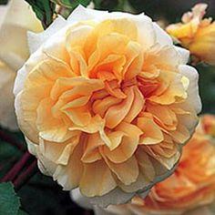 ROSIER ANGLAIS 'PEGASUS®' AUSMOON - Rosier David Austin, un grand nom de la rose anglaise.<br> Ravissantes fleurs  rappelant celle du camélia. Parfum remarquable de rose thé.