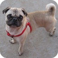 Grapevine Tx Pug Mix Meet Stratton A Dog For Adoption Dogs