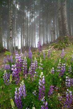Lupines in the Fog by Derek Dammann*