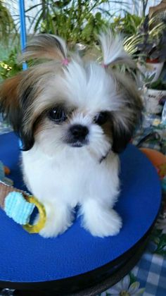 Shih Tzus are true companion dogs. Bred for centuries to be man's best friend, it's no wonder that Shih Tzu puppies are among the most popular of tiny breeds. Are you thinking about bringing a Shih Tzu puppy into your life? Read on to see what to expect! Perro Shih Tzu, Shih Tzu Puppy, Shih Tzus, Shitzu Puppies, Cute Puppies, Cute Dogs, Dogs And Puppies, Doggies, Retriever Puppies