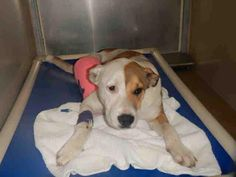 A312002 - DALLAS Sex: unaltered female, stray, friendly, 34.4 lb.,7month old. SET TO BE EUTHANIZED SAT 02/28 Orange County Animal Services  2769 Conroy Rd.,Orlando, Fl (407) 836-3111 https://www.facebook.com/photo.php?fbid=388851437943389&set=a.254488231379711.1073741825.100004556077636&type=1&theater&notif_t=comment_mention