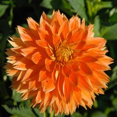 "PUNKIN SPICE (BID) Introduced in 2007. Yummy 7"" blooms of pumpkin orange are a perfect fall color for the garden. Petals are slightly lacinated. Bush is 4 1/2' and has great foliage, making this a nice garden variety."