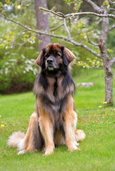 leonberger. One day he shall be mine and I shall call him Lèon and he shall be my Lèon =-)