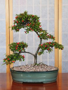 Cotoneaster (Cotoneaster horizontalis) Bonsai Tree with Berries