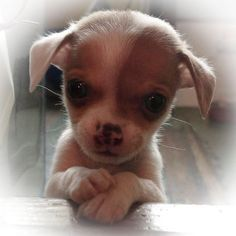 Chihuahuas are excellent pets, but a dog owner must bear in mind that the Chihuahua lifespan is shorter compared to human lifespan. That said it is important that the owner to make sure that his/her Chihuahua has a long and happy life. Chihuahua Love, Chihuahua Puppies, Cute Puppies, Cute Dogs, Dogs And Puppies, Doggies, Cute Baby Animals, Funny Animals, Cute Animal Pictures