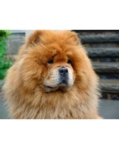 chow chow reminds me of my old dog polly Dogs And Kids, Dogs And Puppies, Doggies, Dog Themed Parties, Chow Chow Dogs, Healthy Pets, Dog Cat, Pet Pet, Mans Best Friend