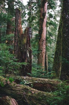 millivedder: Old Growth and Nurse Logs